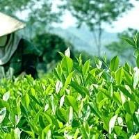 SẢN LƯỢNG CHÈ BANGLADESH ĐẠT MỨC KỶ LỤC, CHUYỂN SANG XUẤT KHẨU